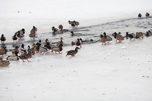 Life ducks in winter
