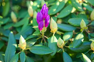 Bloom purple rhododendron