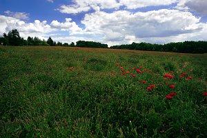 Field with poppy poppy