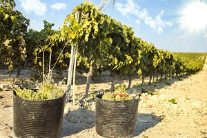Baskets of grapes on a vine