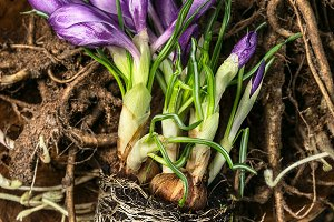 Spring gardening with crocuses