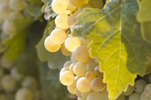 detail of a bunch of grapes