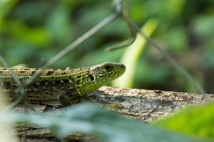 Green lizard on a log