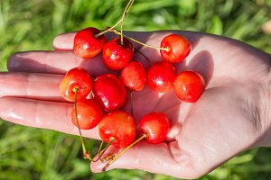 handful of cherries in hand