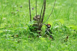 Woodpecker In the park