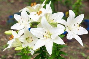 Lilies in the garden