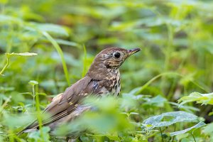 Thrush grasslander on grass