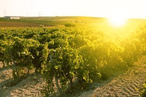 Vineyard in backlight