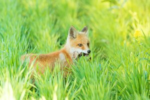 fox on the grass