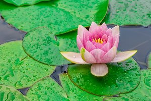 Pink waterlily or lotus flower with rain drops