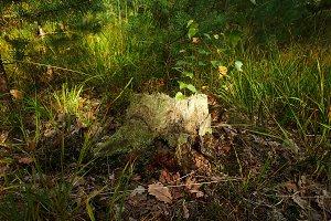 Stump in the autumn