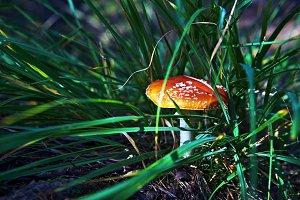 Amanita muscaria in grass