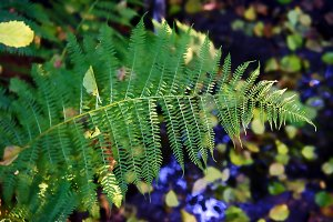 Fern by the creek in the woods