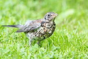 Thrush grasslander on the grass