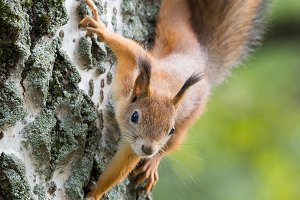 red squirrel on a branch in summer