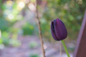 Dark purple black tulip closeup