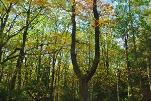 Massive oak in the autumn
