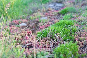 Beautiful green and red moss closeup