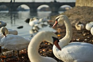 Swans with youngsters