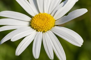 camomile flower close-up