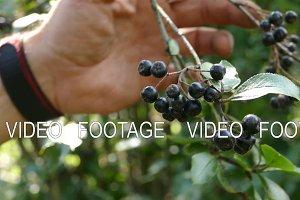 Harvest of aronia tree on a tree