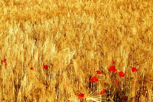 Wheat field with a poppies