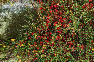 red berries of barberry on the bush