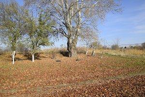 The silver poplar dropped the foliage. Poplar foliage on the ground under a tree.