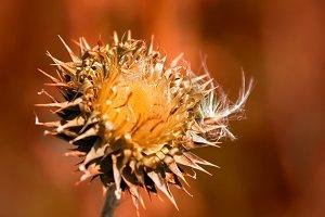 1453 - Old-flower