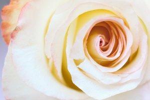 Romance pink rose close up
