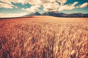 Summer ripe orange wheat field with mountain range