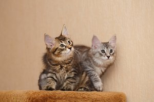Two cute little bobtail kitten