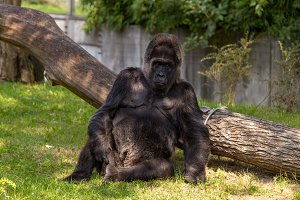 A silverback gorilla staring.