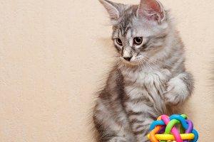 Cute little bobtail kitten