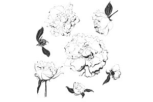 Set of vector vintage peonies. Hand drawn illustration.