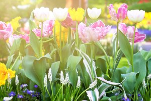 Bright tulips flowerbed