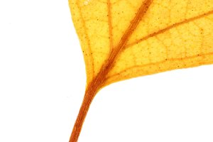 Isolated Dry Leaf Texture.