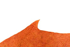 Isolated Dry Leaf Texture