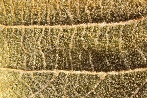 Frosted Leaf Surface Texture.