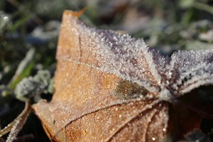 Frosted Maple Leaf Surface