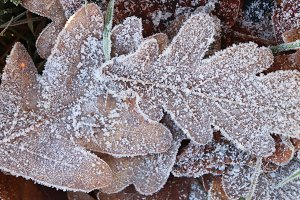 Frost Ice on Forest Oak Leaves
