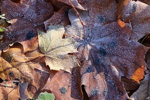 Frost Ice on Forest Maple Leaves