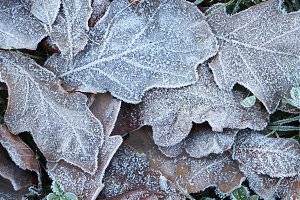 Ice on Forest Oak Leaves