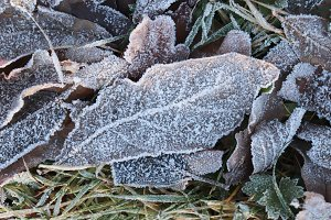 Frost Ice on Forest Leaves