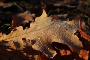 Frosted Oak Leaf Surface Texture