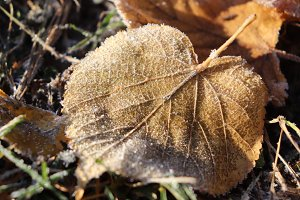 Frosted Leaf Surface Texture