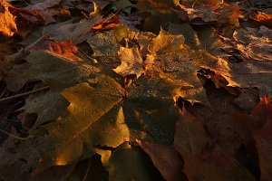 Autumn Maple Leaves Deciduous Ground