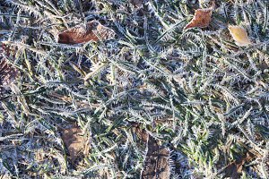 Frost Forest Grass with Dry Leaves