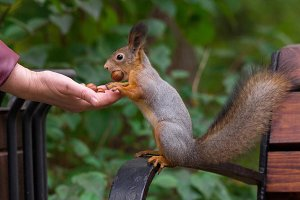 Squirrel eats nuts