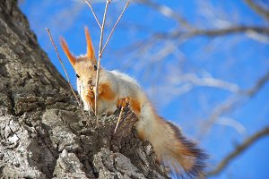 Squirrel sitting in the tree and eating nuts